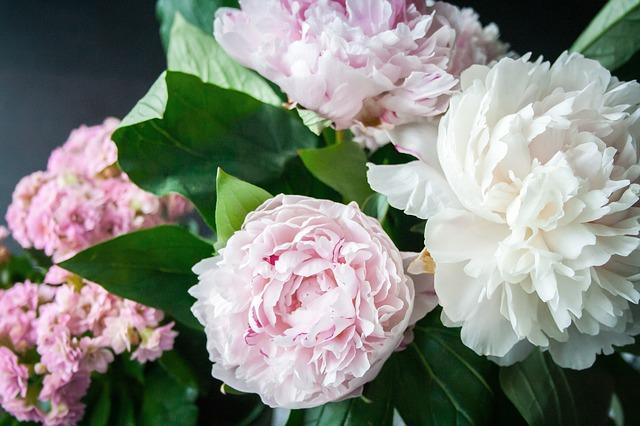 kytice bílých a růžových pivoněk